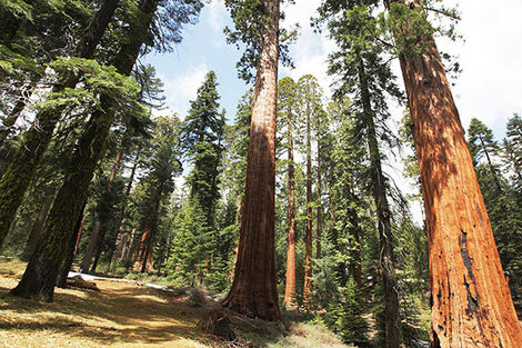 Sequoia (Parc National) aux Etats-Unis