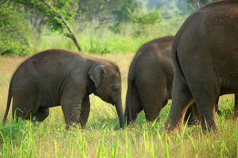 Élephants au Sri Lanka