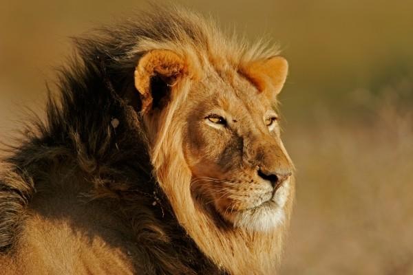 lion - Johannesburg et le parc Kruger