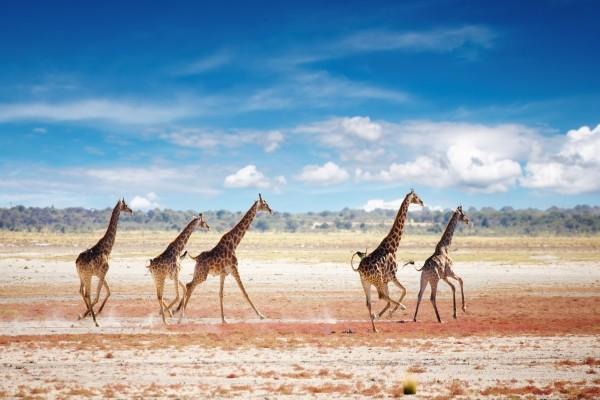 girafe - Magie de l'Afrique du Sud, Chutes Victoria et Parc Chobe