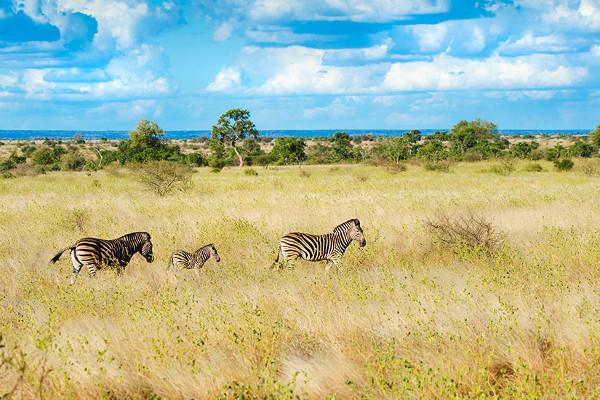 Parc Kruger - Afrique Australe, du Cap de Bonne Espérance aux Chutes Victoria