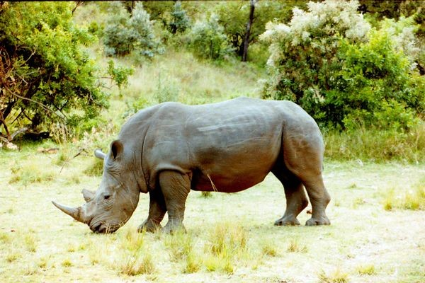 Rhino - Safari Simba
