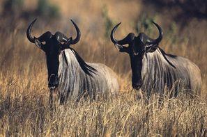 Tanzanie-Arusha, Circuit Safari Serengeti